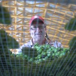 "Viewing the world through ""hop coloured"" glasses. Hugh Brown checks out his Ontario Cascade - which he trucked to Bighead Hops from Heritage Hill Organics in Barrie for harvesting."