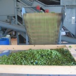 Cascade hops coming off of the Wolf Picker's conveyor belt.