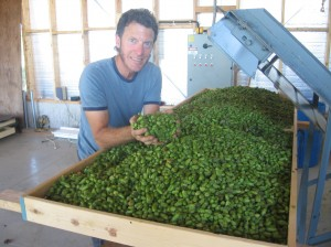 Nicholas Schaut of Bighead Hops looking at the recently processed Cascade hops.