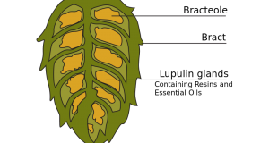 Harvest time approaching for hop growers