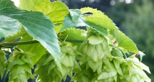 Why Toronto's Craft Brewers Are Experimenting With Home-Grown Hops
