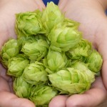 Determining When Hops Are Ready To Harvest